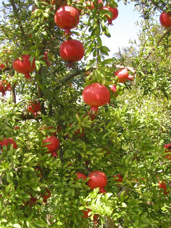 Granat æbler